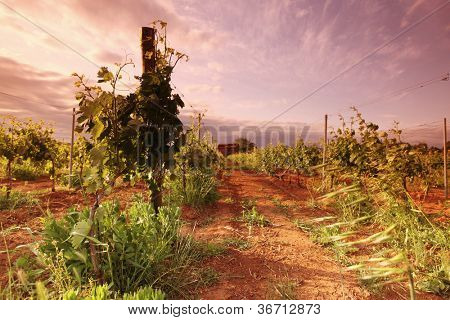 Vineyard in france on sunrise