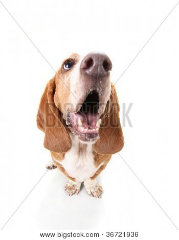 a funny basset hound isolated on white a background with her mouth open, howling
