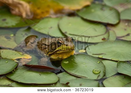 Frog by Lilypads