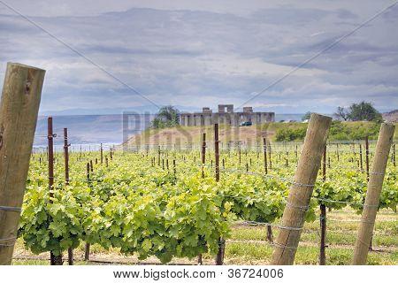 Vineyard In Maryhill Washington State