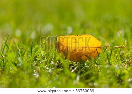 Solitary Yellow Autumn Leaf