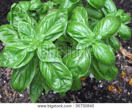 Basil in Herb Garden