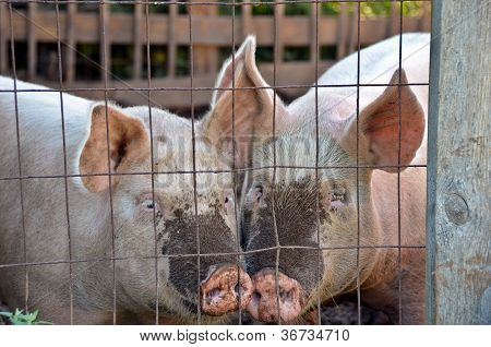 Pair of pigs in pen