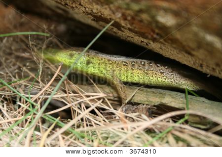 The Green Lizard.