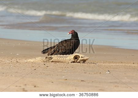 Adult Turkey Vulture with a Dead Lake Sturgeon