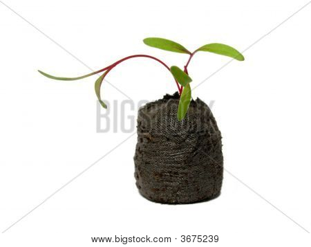 Seedling In A Peat Pot