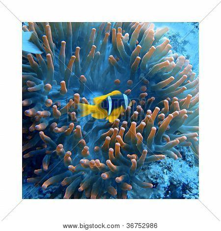 Clownfish / Anemonefish