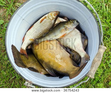 Fish Tench Roach Bass Catch In Retro Rusty Bucket