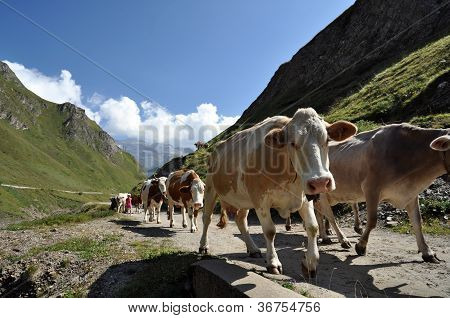 Cows In Rough Grazing