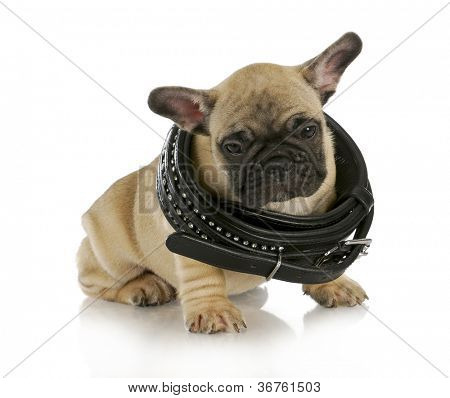 puppy growth - french bulldog wearing a black leather collar that is too big - 8 weeks old