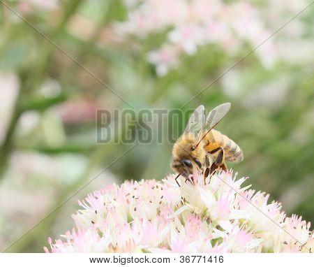 Foraging Honeybee