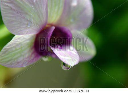 Orchidrain