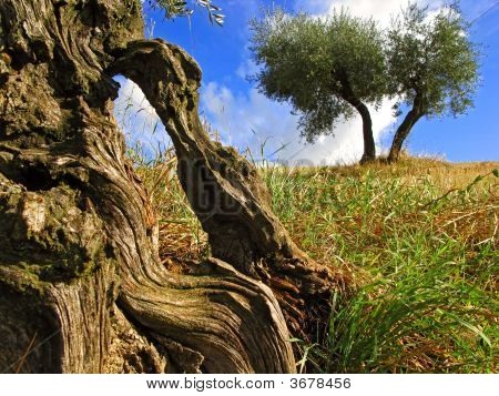 Old Olive Trees