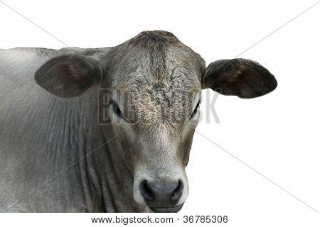 Charolais heifer