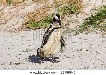 African Penguin Carrying Nesting Material