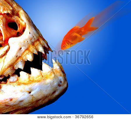 Piranha versus Goldfish.