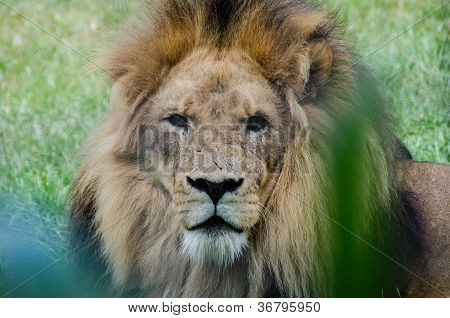 Scarred Lion Staring At The Viewer
