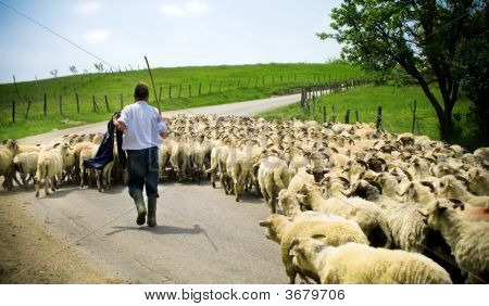 Shepherd With His Sheep Herd