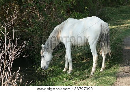 White Horse Drinking