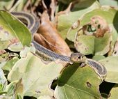 pic of harmless snakes  - A garter snake peeking out from leaves - JPG
