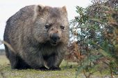 foto of wombat  - A close up of Wombat in Narawntapu National Park Australia - JPG