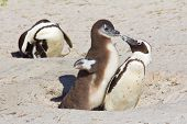 stock photo of jackass  - Jackass penguin chick demanding food from its parent on Boulder Beach South Africa - JPG