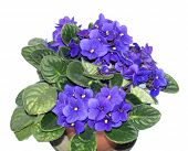 picture of angiosperms  - Saintpaulia African Violet house plant flower  - JPG