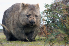 picture of wombat  - A close up of Wombat in Narawntapu National Park Australia - JPG