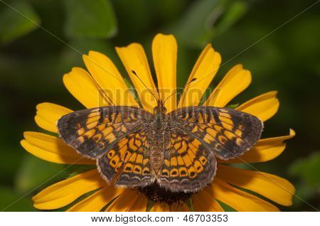 Dorsal view of a Pearl Crescent butterfly feeding on a yellow and brown Black-Eyes Susan flower