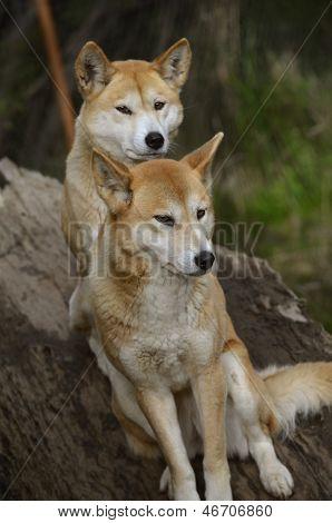 Golden Dingo