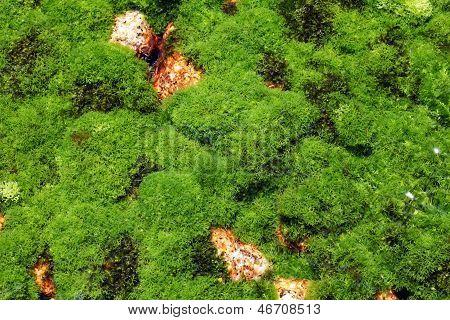algae plant