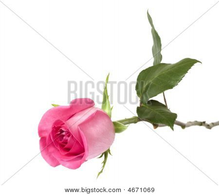Beautiful Rose On A White Background