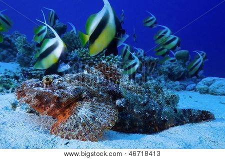 Heniochus intermedius, Red Sea banner fish school swimming above camouflaged scorpion fish Scorpaenopsis oxycephalus