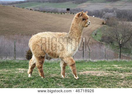 Pretty Gold Alpaca