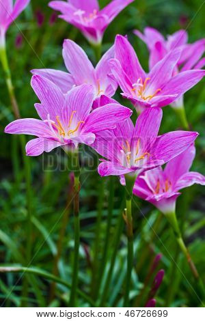 Flor de lirio de lluvia púrpura hermosa