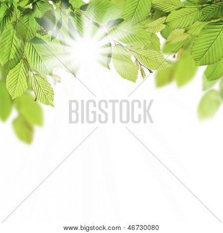 Hornbeam leaves isolated on white background