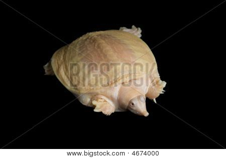 Albino Chinese Soft-shell Turtle