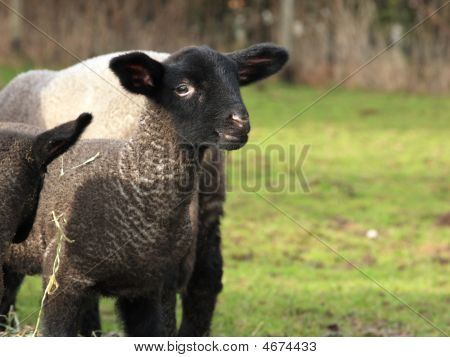 Cute Young Lamb