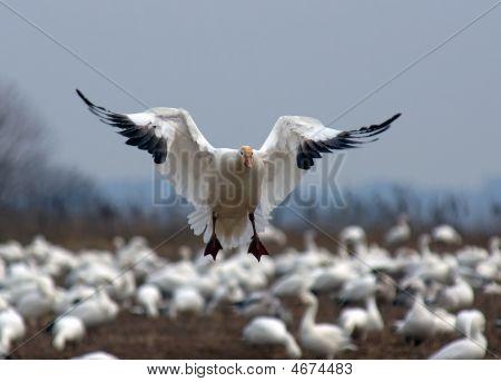 Desembarque de ganso da neve