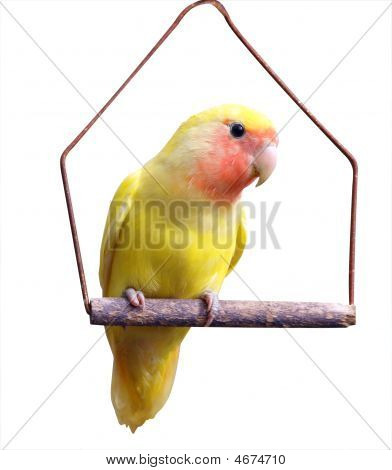Yellow Lovebird On Swing