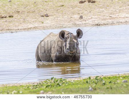 Black Rhino in dam