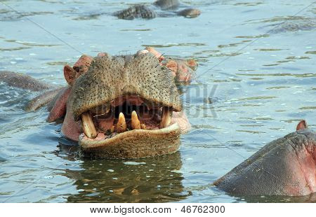 Hippo Showing Teeth
