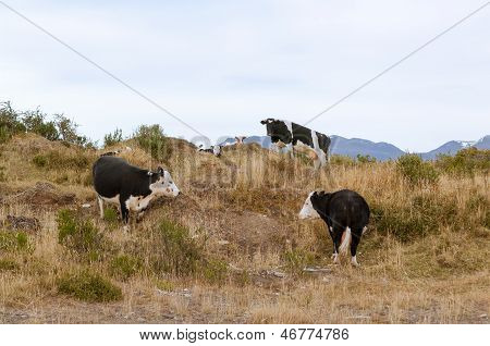 Patagonian Cows