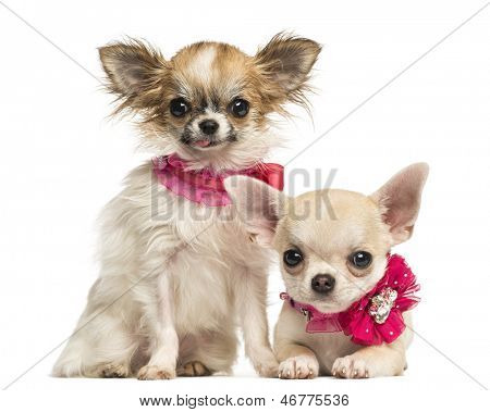 Two Chihuahua puppies with bow collars, isolated on white