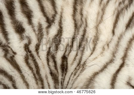 Macro of a White tiger fur