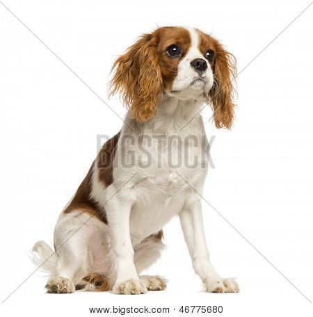 Cavalier King Charles Spaniel puppy, sitting, 5 months old, isolated on white
