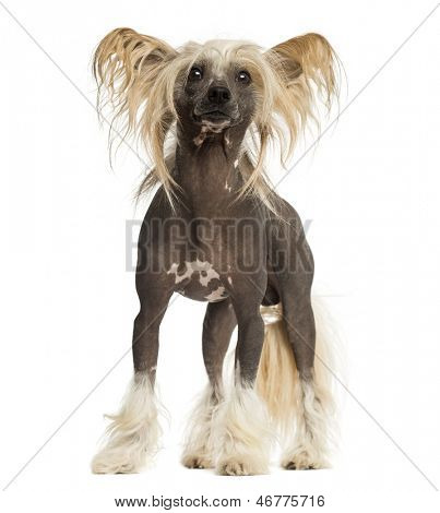 Chinese Crested Dog, standing, 3 years old, isolated on white