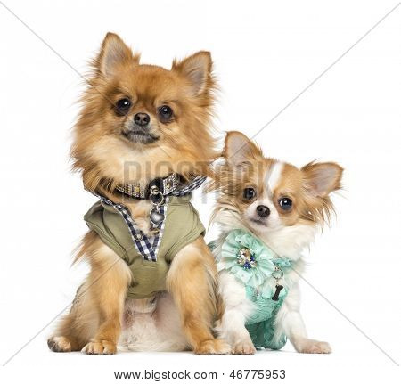 Two dressed up Chihuahuas sitting, 10 months and 2 years old, isolated on white