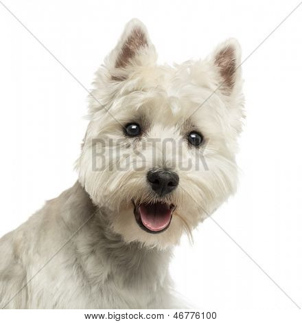 Close-up of a West Highland White Terrier, looking at the camera, panting, 18 months old, isolated on white