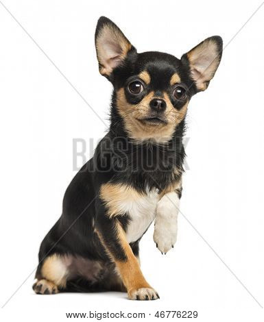 Chihuahua Heben einer Pfote, Blick in die Kamera, 8 Monate alt, isolated on white